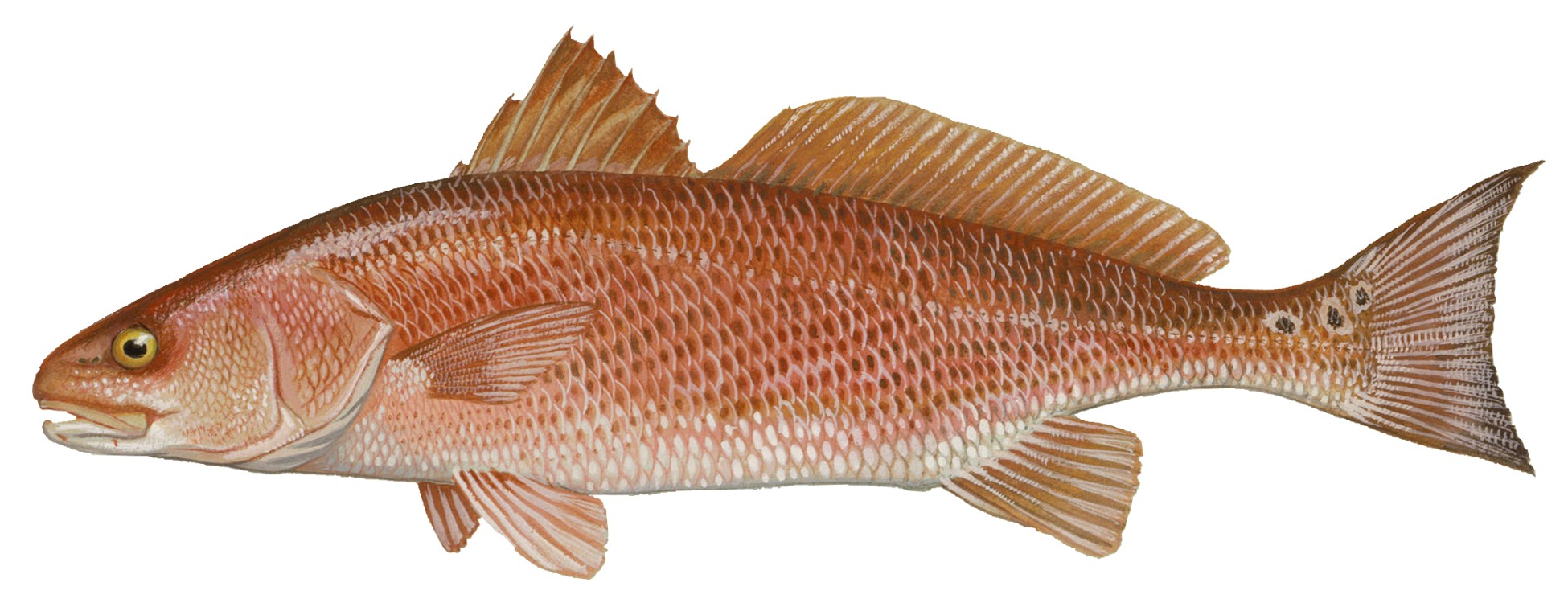 Red drum rendering. Image by Duane Raver / U.S. Fish and Wildlife Service.