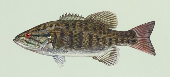 Illustration d'un achigan à petite bouche par Duane Raver Art - U.S. Fish & Wildlife Service.