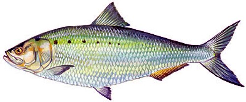 Alt Text: Rendering of American shad by Duane Raver / Florida Fish and Wildlife Conservation Commission.