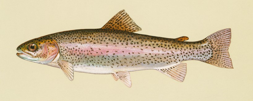 Rainbow trout rendering from Duane Raver Art - U.S. Fish & Wildlife Service.